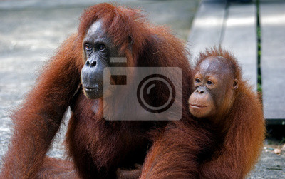 Постер Малайзия Орангутанг с ее ребенком, Semenggoh, Борнео, МалайзияМалайзия<br>Постер на холсте или бумаге. Любого нужного вам размера. В раме или без. Подвес в комплекте. Трехслойная надежная упаковка. Доставим в любую точку России. Вам осталось только повесить картину на стену!<br>