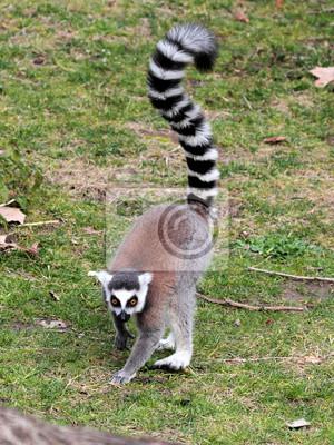 Кольцо хвостом lemur (Lemur catta) движется по земле,, 20x27 см, на бумагеЛемуры<br>Постер на холсте или бумаге. Любого нужного вам размера. В раме или без. Подвес в комплекте. Трехслойная надежная упаковка. Доставим в любую точку России. Вам осталось только повесить картину на стену!<br>