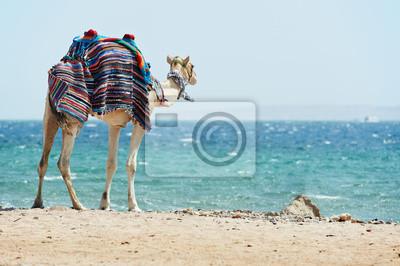 Постер ОАЭ Верблюд на Красное Море пляжОАЭ<br>Постер на холсте или бумаге. Любого нужного вам размера. В раме или без. Подвес в комплекте. Трехслойная надежная упаковка. Доставим в любую точку России. Вам осталось только повесить картину на стену!<br>