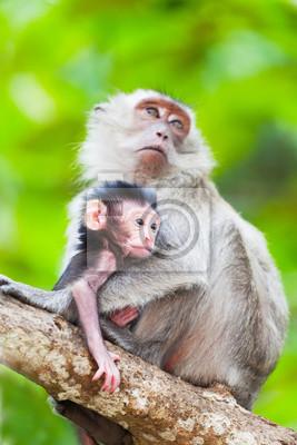 Постер Малайзия Детеныш обезьяны с матерью на ветку дереваМалайзия<br>Постер на холсте или бумаге. Любого нужного вам размера. В раме или без. Подвес в комплекте. Трехслойная надежная упаковка. Доставим в любую точку России. Вам осталось только повесить картину на стену!<br>