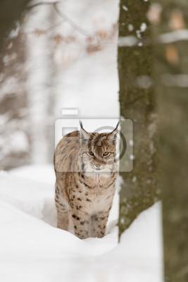 Постер Рысь Eurasischer Luchs, Евразийская рысь, Рысь (Lynx Lynx)Рысь<br>Постер на холсте или бумаге. Любого нужного вам размера. В раме или без. Подвес в комплекте. Трехслойная надежная упаковка. Доставим в любую точку России. Вам осталось только повесить картину на стену!<br>