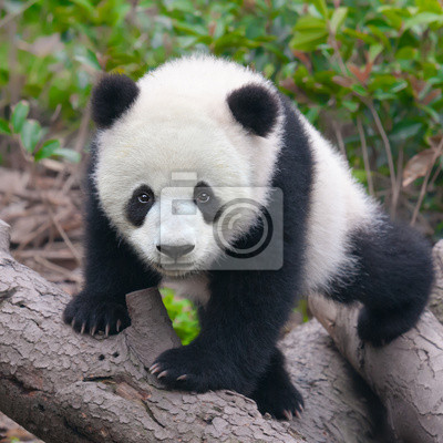 Симпатичные молодые детеныша панды, 20x20 см, на бумагеПанда<br>Постер на холсте или бумаге. Любого нужного вам размера. В раме или без. Подвес в комплекте. Трехслойная надежная упаковка. Доставим в любую точку России. Вам осталось только повесить картину на стену!<br>