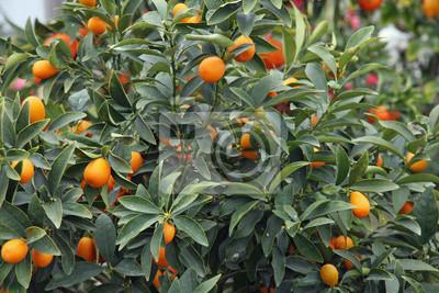 Постер Еда и напитки Цитрусовые растения растут апельсины и лимоны в Сицилии, 30x20 см, на бумагеМандарины<br>Постер на холсте или бумаге. Любого нужного вам размера. В раме или без. Подвес в комплекте. Трехслойная надежная упаковка. Доставим в любую точку России. Вам осталось только повесить картину на стену!<br>