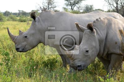 Постер Животные Крупным планом носорог в Khama заповедника,Ботсвана, 30x20 см, на бумагеНосороги<br>Постер на холсте или бумаге. Любого нужного вам размера. В раме или без. Подвес в комплекте. Трехслойная надежная упаковка. Доставим в любую точку России. Вам осталось только повесить картину на стену!<br>