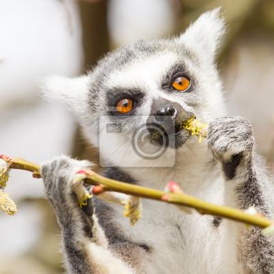 Постер Животные Кольцо хвостом lemur (Lemur catta), 20x20 см, на бумагеЛемуры<br>Постер на холсте или бумаге. Любого нужного вам размера. В раме или без. Подвес в комплекте. Трехслойная надежная упаковка. Доставим в любую точку России. Вам осталось только повесить картину на стену!<br>