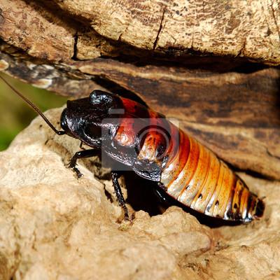 Постер-картина Фото-постеры Шипение Мадагаскар (Gromphadorhina portentosa) таракан, 20x20 см, на бумагеТараканы<br>Постер на холсте или бумаге. Любого нужного вам размера. В раме или без. Подвес в комплекте. Трехслойная надежная упаковка. Доставим в любую точку России. Вам осталось только повесить картину на стену!<br>