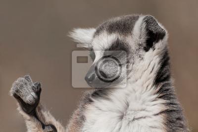 Постер Лемуры Кольцо хвостом lemur принятия солнечных ваннЛемуры<br>Постер на холсте или бумаге. Любого нужного вам размера. В раме или без. Подвес в комплекте. Трехслойная надежная упаковка. Доставим в любую точку России. Вам осталось только повесить картину на стену!<br>