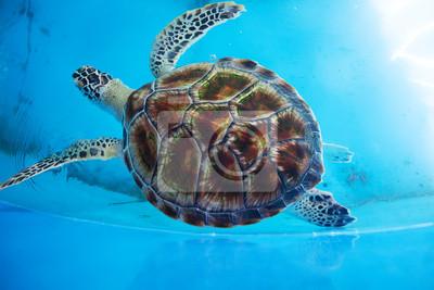 Постер Рептилии Взрослый черепаха плавает в бассейне Морских Черепах Природоохранных ИсследованийРептилии<br>Постер на холсте или бумаге. Любого нужного вам размера. В раме или без. Подвес в комплекте. Трехслойная надежная упаковка. Доставим в любую точку России. Вам осталось только повесить картину на стену!<br>