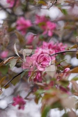 Постер Цветы яблони Цветение Дерева ЯблокоЦветы яблони<br>Постер на холсте или бумаге. Любого нужного вам размера. В раме или без. Подвес в комплекте. Трехслойная надежная упаковка. Доставим в любую точку России. Вам осталось только повесить картину на стену!<br>