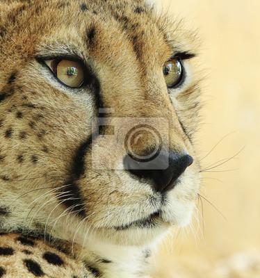 Постер Гепарды