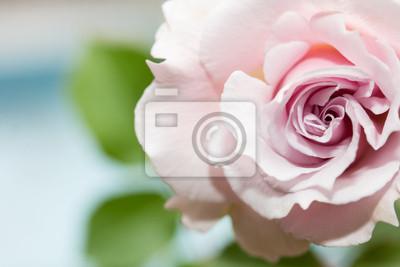 Красивые розовые розы, 30x20 см, на бумагеРозы<br>Постер на холсте или бумаге. Любого нужного вам размера. В раме или без. Подвес в комплекте. Трехслойная надежная упаковка. Доставим в любую точку России. Вам осталось только повесить картину на стену!<br>