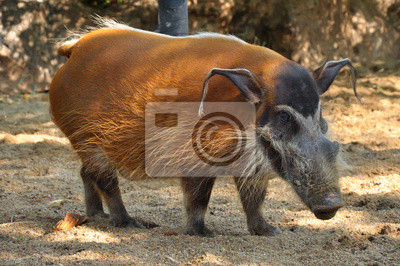 Постер Свиньи и кабаны