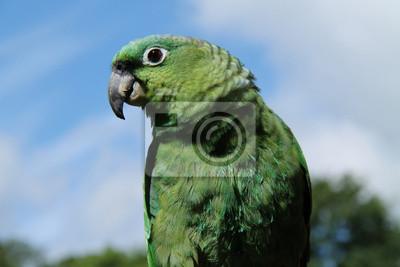 Красивый Зеленый Мучнистой Амазонский Попугай Птица,, 30x20 см, на бумагеПопугаи<br>Постер на холсте или бумаге. Любого нужного вам размера. В раме или без. Подвес в комплекте. Трехслойная надежная упаковка. Доставим в любую точку России. Вам осталось только повесить картину на стену!<br>