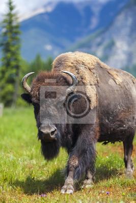 Постер Буйволы и бизоны