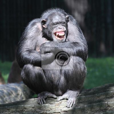 Постер Обезьяны Улыбаясь счастливой Шимпанзе.Обезьяны<br>Постер на холсте или бумаге. Любого нужного вам размера. В раме или без. Подвес в комплекте. Трехслойная надежная упаковка. Доставим в любую точку России. Вам осталось только повесить картину на стену!<br>
