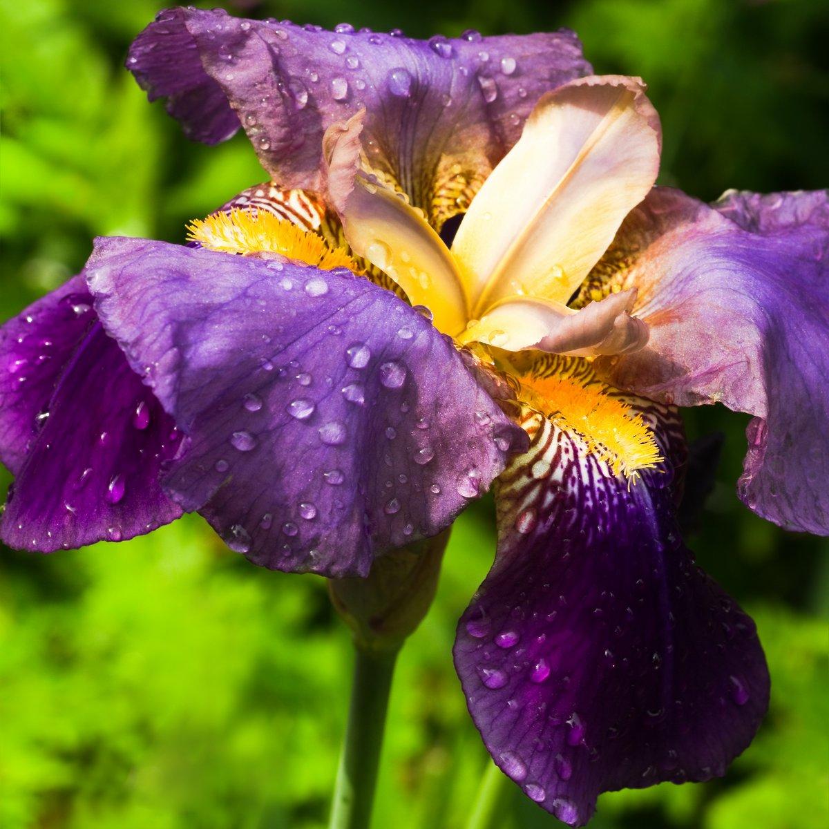 Постер Ирисы Фиолетовый немецкий или Iris Iris germanica заделываютИрисы<br>Постер на холсте или бумаге. Любого нужного вам размера. В раме или без. Подвес в комплекте. Трехслойная надежная упаковка. Доставим в любую точку России. Вам осталось только повесить картину на стену!<br>