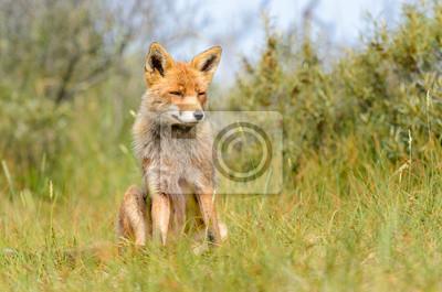 Постер Лисицы Red fox в его естественной среде обитанияЛисицы<br>Постер на холсте или бумаге. Любого нужного вам размера. В раме или без. Подвес в комплекте. Трехслойная надежная упаковка. Доставим в любую точку России. Вам осталось только повесить картину на стену!<br>