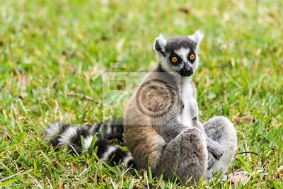 Постер Животные Lemur catta Мадагаскара, 30x20 см, на бумагеЛемуры<br>Постер на холсте или бумаге. Любого нужного вам размера. В раме или без. Подвес в комплекте. Трехслойная надежная упаковка. Доставим в любую точку России. Вам осталось только повесить картину на стену!<br>