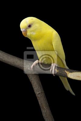 Постер Попугаи Желтый попугай на веткеПопугаи<br>Постер на холсте или бумаге. Любого нужного вам размера. В раме или без. Подвес в комплекте. Трехслойная надежная упаковка. Доставим в любую точку России. Вам осталось только повесить картину на стену!<br>