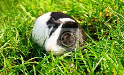 Подопытным кроликом в зеленой траве., 33x20 см, на бумагеМорские свинки<br>Постер на холсте или бумаге. Любого нужного вам размера. В раме или без. Подвес в комплекте. Трехслойная надежная упаковка. Доставим в любую точку России. Вам осталось только повесить картину на стену!<br>