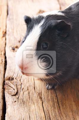 Постер Морские свинки