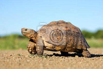 Постер Рептилии Леопард черепахаРептилии<br>Постер на холсте или бумаге. Любого нужного вам размера. В раме или без. Подвес в комплекте. Трехслойная надежная упаковка. Доставим в любую точку России. Вам осталось только повесить картину на стену!<br>