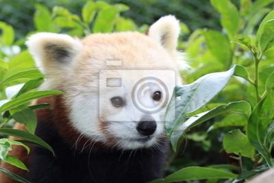 Красная панда, Panda ру де шин, 30x20 см, на бумагеПанда<br>Постер на холсте или бумаге. Любого нужного вам размера. В раме или без. Подвес в комплекте. Трехслойная надежная упаковка. Доставим в любую точку России. Вам осталось только повесить картину на стену!<br>