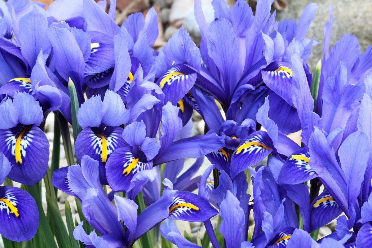 Постер Ирисы Голландский миниатюрный синий ирис (Iris reticulata)Ирисы<br>Постер на холсте или бумаге. Любого нужного вам размера. В раме или без. Подвес в комплекте. Трехслойная надежная упаковка. Доставим в любую точку России. Вам осталось только повесить картину на стену!<br>