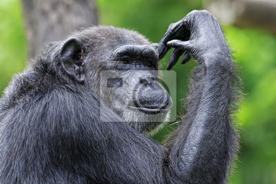 Общие Шимпанзе, 30x20 см, на бумагеОбезьяны<br>Постер на холсте или бумаге. Любого нужного вам размера. В раме или без. Подвес в комплекте. Трехслойная надежная упаковка. Доставим в любую точку России. Вам осталось только повесить картину на стену!<br>