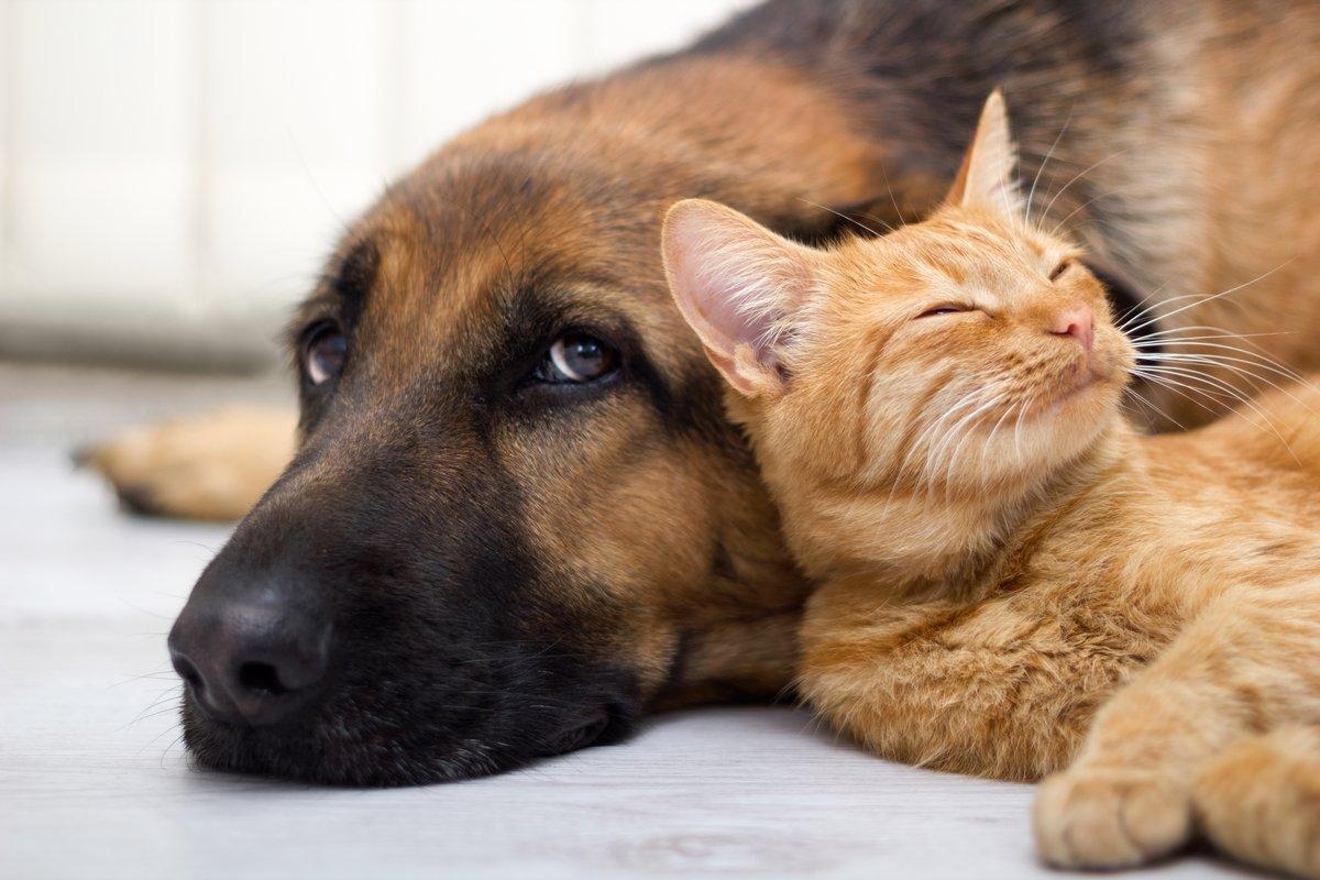 Немецкая Овчарка-Собака и кошка вместе, 30x20 см, на бумагеСобаки<br>Постер на холсте или бумаге. Любого нужного вам размера. В раме или без. Подвес в комплекте. Трехслойная надежная упаковка. Доставим в любую точку России. Вам осталось только повесить картину на стену!<br>