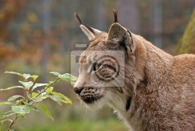 Постер Рысь Eurasischer Luchs - [Lynx Lynx]Рысь<br>Постер на холсте или бумаге. Любого нужного вам размера. В раме или без. Подвес в комплекте. Трехслойная надежная упаковка. Доставим в любую точку России. Вам осталось только повесить картину на стену!<br>