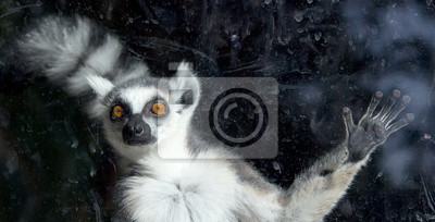 Постер Лемуры Кольцо хвостом lemur (Lemur Catta)Лемуры<br>Постер на холсте или бумаге. Любого нужного вам размера. В раме или без. Подвес в комплекте. Трехслойная надежная упаковка. Доставим в любую точку России. Вам осталось только повесить картину на стену!<br>