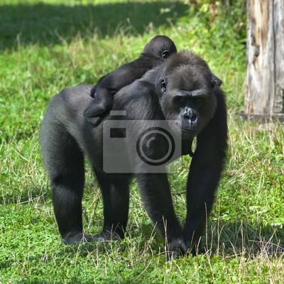 Постер Животные Солнечный горилла женщина с ребенком на спине., 20x20 см, на бумагеОбезьяны<br>Постер на холсте или бумаге. Любого нужного вам размера. В раме или без. Подвес в комплекте. Трехслойная надежная упаковка. Доставим в любую точку России. Вам осталось только повесить картину на стену!<br>