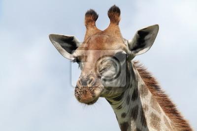 Giraffa, 30x20 см, на бумагеЖирафы<br>Постер на холсте или бумаге. Любого нужного вам размера. В раме или без. Подвес в комплекте. Трехслойная надежная упаковка. Доставим в любую точку России. Вам осталось только повесить картину на стену!<br>