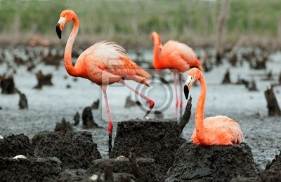 Постер Фламинго Фламинго (Phoenicopterus ruber) колонии.Фламинго<br>Постер на холсте или бумаге. Любого нужного вам размера. В раме или без. Подвес в комплекте. Трехслойная надежная упаковка. Доставим в любую точку России. Вам осталось только повесить картину на стену!<br>