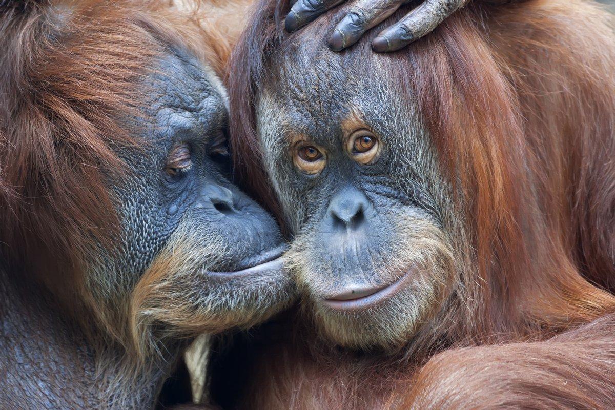 Постер Животные Дикая нежность среди орангутангов. Мать целует, 30x20 см, на бумагеОбезьяны<br>Постер на холсте или бумаге. Любого нужного вам размера. В раме или без. Подвес в комплекте. Трехслойная надежная упаковка. Доставим в любую точку России. Вам осталось только повесить картину на стену!<br>