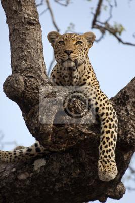 Постер Леопарды