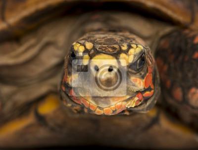 Постер Рептилии Close-up Красного ногами черепаха сторону, Chelonoidis carbonariaРептилии<br>Постер на холсте или бумаге. Любого нужного вам размера. В раме или без. Подвес в комплекте. Трехслойная надежная упаковка. Доставим в любую точку России. Вам осталось только повесить картину на стену!<br>