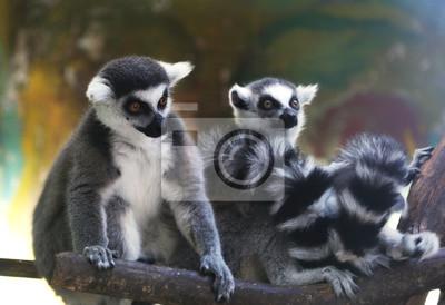 Кольцо хвостом lemur (Lemur Catta) за стеклянной вольере зоопарка, 29x20 см, на бумагеЛемуры<br>Постер на холсте или бумаге. Любого нужного вам размера. В раме или без. Подвес в комплекте. Трехслойная надежная упаковка. Доставим в любую точку России. Вам осталось только повесить картину на стену!<br>