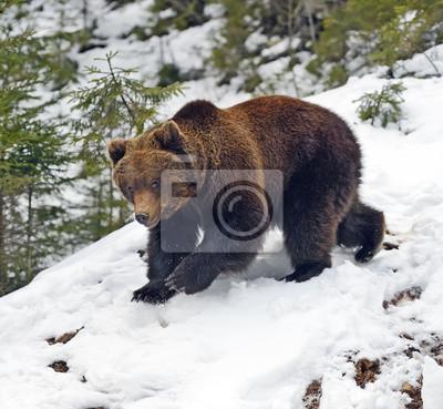 Постер Животные Бурый медведь в лесу зимой, 22x20 см, на бумагеМедведи<br>Постер на холсте или бумаге. Любого нужного вам размера. В раме или без. Подвес в комплекте. Трехслойная надежная упаковка. Доставим в любую точку России. Вам осталось только повесить картину на стену!<br>