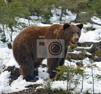 Бурый медведь в лесу зимой, 21x20 см, на бумагеМедведи<br>Постер на холсте или бумаге. Любого нужного вам размера. В раме или без. Подвес в комплекте. Трехслойная надежная упаковка. Доставим в любую точку России. Вам осталось только повесить картину на стену!<br>