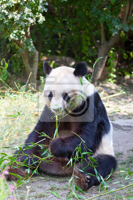 Огромный медведь панда побеги бамбука, 20x30 см, на бумагеПанда<br>Постер на холсте или бумаге. Любого нужного вам размера. В раме или без. Подвес в комплекте. Трехслойная надежная упаковка. Доставим в любую точку России. Вам осталось только повесить картину на стену!<br>