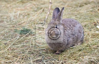 Серый Европейского кролика, 31x20 см, на бумагеЗайцы<br>Постер на холсте или бумаге. Любого нужного вам размера. В раме или без. Подвес в комплекте. Трехслойная надежная упаковка. Доставим в любую точку России. Вам осталось только повесить картину на стену!<br>