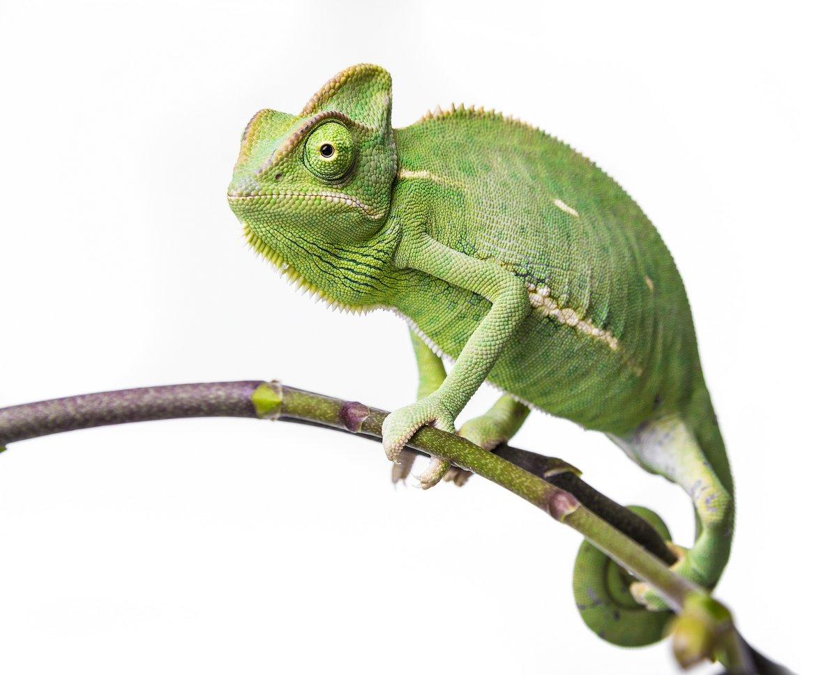 Постер Рептилии Зеленый хамелеон - Chamaeleo calyptratusРептилии<br>Постер на холсте или бумаге. Любого нужного вам размера. В раме или без. Подвес в комплекте. Трехслойная надежная упаковка. Доставим в любую точку России. Вам осталось только повесить картину на стену!<br>