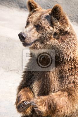 Бурый медведь (Ursus arctos) является одним из крупнейших и наиболее powe, 20x30 см, на бумагеМедведи<br>Постер на холсте или бумаге. Любого нужного вам размера. В раме или без. Подвес в комплекте. Трехслойная надежная упаковка. Доставим в любую точку России. Вам осталось только повесить картину на стену!<br>