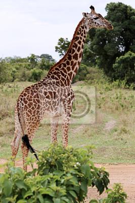 Постер Животные Дикий жираф, 20x30 см, на бумагеЖирафы<br>Постер на холсте или бумаге. Любого нужного вам размера. В раме или без. Подвес в комплекте. Трехслойная надежная упаковка. Доставим в любую точку России. Вам осталось только повесить картину на стену!<br>