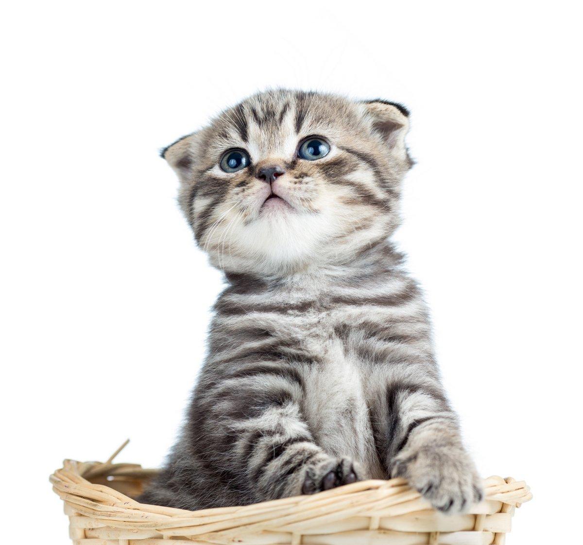 Смешные детские шотландский британский котенок сидит в корзине, 21x20 см, на бумагеКошки<br>Постер на холсте или бумаге. Любого нужного вам размера. В раме или без. Подвес в комплекте. Трехслойная надежная упаковка. Доставим в любую точку России. Вам осталось только повесить картину на стену!<br>
