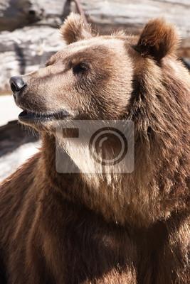 Постер Медведи Бурый медведьМедведи<br>Постер на холсте или бумаге. Любого нужного вам размера. В раме или без. Подвес в комплекте. Трехслойная надежная упаковка. Доставим в любую точку России. Вам осталось только повесить картину на стену!<br>