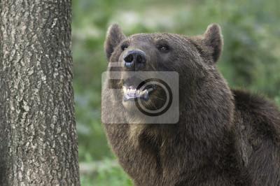 Постер Медведи Бурый медведь портрет / Ursus arctosМедведи<br>Постер на холсте или бумаге. Любого нужного вам размера. В раме или без. Подвес в комплекте. Трехслойная надежная упаковка. Доставим в любую точку России. Вам осталось только повесить картину на стену!<br>
