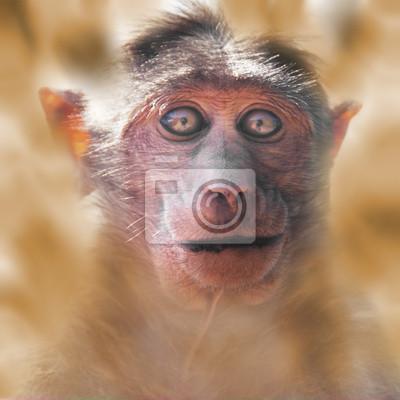 Постер Обезьяны Портрет обезьяны, глядя на камеруОбезьяны<br>Постер на холсте или бумаге. Любого нужного вам размера. В раме или без. Подвес в комплекте. Трехслойная надежная упаковка. Доставим в любую точку России. Вам осталось только повесить картину на стену!<br>